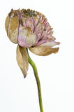 The kraurotic lotus flower. The artists lotus flower that had faded and kraurotic Royalty Free Stock Photography