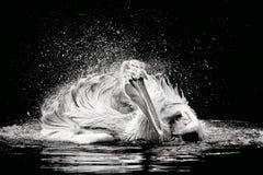 Krauskopfpelikan in einem See Stockfotos