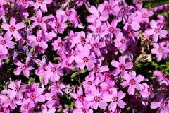 Krautartige mit Stolonen versehene mehrjährige Pflanze dicht gepflanzte Kriechenflammenblume oder Flammenblume stolonifera oder d stockbilder