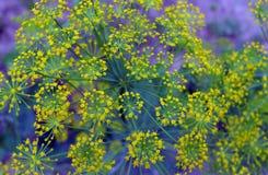 Krautfenchelblüten-Floragarten der Gewürzfeldfarbniederlassungsbuschblüte verlässt blühender frischer Blattdillsommergrün-Naturbl Stockfoto