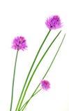 Krautschnittlauchblumen Lizenzfreie Stockbilder