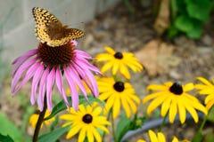 Krautwurms Schmetterling Fritillary-(Speyeria-cybele krautwurmi) auf purpurrotem Coneflower Lizenzfreie Stockfotografie