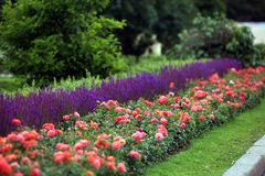 Krawężnik w parku róże i mędrzec Obrazy Royalty Free