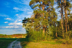 Krawędź wiosna las w wieczór słońcu Fotografia Royalty Free