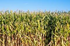 Krawędź kukurydzany pole Obraz Stock