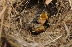 Krawiecki dziecko ptak Zdjęcia Stock