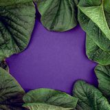 Kreative Naturblätter breiten aus Super natürliches Konzept, ultraviolettes färbt Hintergrund, Modeart, minimaler Sommer, Kopienr Stockfotos
