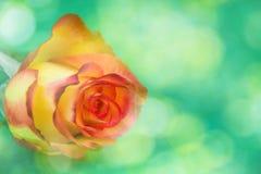 Kreatywnie świeży piękny różany lying on the beach na bokeh papieru tle z kopii przestrzenią dla teksta Frontowy widok, Zamyka Up obraz stock