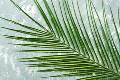 Kreatywnie układu tropikalna palma opuszcza na szarym tle Odgórny widok, mieszkanie nieatutowy obrazy royalty free