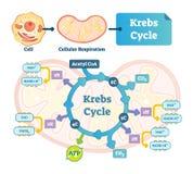 Krebs cyklu wektoru ilustracja Citric tricarboxylic kwas przylepiający etykietkę plan ilustracja wektor