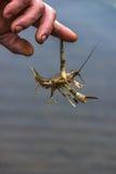 Krebs hat die Hand eines Fischers gebissen Lizenzfreie Stockbilder