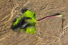 Krebs im Fluss im klaren Wasser im Sand Lizenzfreie Stockbilder