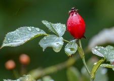 Krebsgeschwür-Rose Stockfotografie