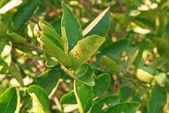 Krebsgeschwürkrankheit auf Zitrusfruchtblättern Lizenzfreies Stockfoto
