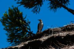 Kredowy browed mockingbird patrzeje wokoło obraz stock