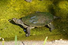 Kreffts Turtle Emydura macquarii krefftii. Is short-necked turtle occurring only in Queensland in Australia stock photography