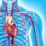 Kreislaufsystem des halben Körpers hebt Herz hervor Stockbilder