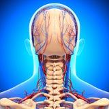 Kreislaufsystem des männlichen Kopfes Stockbilder