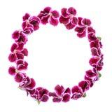Kreisrahmen der blühenden purpurroten Pelargonienblume des Samts ist isolat Stockbild