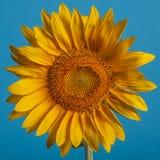 Kreissonnenblume auf dem klaren blauen Hintergrund Stockfotografie