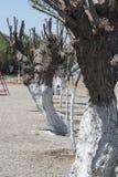 Kremasti strandträd Rhodes Greece Arkivfoto