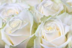Kremowe białe róże obraz royalty free