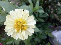 Kremowego żółtego kwiatu oryginalny wizerunek od ogródu obrazy royalty free