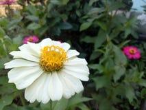 Kremowego żółtego kwiatu oryginalny wizerunek od ogródu zdjęcie royalty free