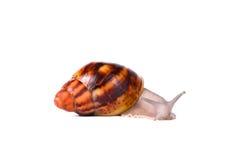 Kremowy ślimaczek na odosobnionym białym tle zdjęcie royalty free