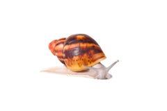 Kremowy ślimaczek na odosobnionym białym tle fotografia royalty free