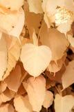 Kremowy bo leaf Fotografia Stock