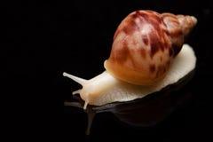 Kremowy ślimaczek na odosobnionym czarnym tle zdjęcie stock