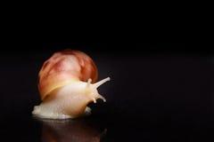 Kremowy ślimaczek na odosobnionym czarnym tle fotografia stock