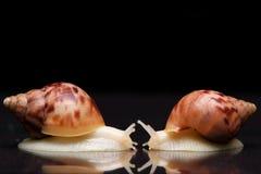 Kremowy ślimaczek na odosobnionym czarnym tle zdjęcia royalty free
