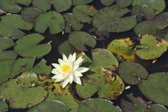 Kremowy lotosowy kwiat Obraz Royalty Free