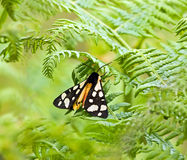 kremowy ćma punktu tygrys Zdjęcie Royalty Free