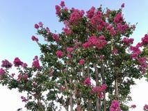 Krepdeszynowego mirtu lagerstroemia zakończenia up kwiat Zdjęcie Stock