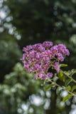 Krepp-Myrte-Rosa Blumen Stockfotografie