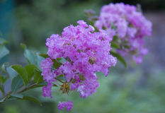 Krepp-Myrtle Catawba-Blume lizenzfreie stockfotos