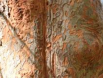 Kreppmyrten-Baumrindebeschaffenheit Stockfoto
