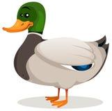 Kreskówki Mallard kaczka Obrazy Royalty Free