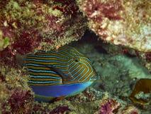 Kreskowy Surgeonfish Obrazy Royalty Free