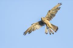 Krestel común (tinnunculus de Falco) Imágenes de archivo libres de regalías