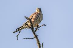 Krestel commun (tinnunculus de Falco) Photographie stock