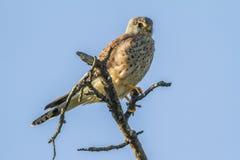 Krestel commun (tinnunculus de Falco) Images libres de droits