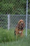 Kresy Tropi Alaska Bloodhound Fotografia Royalty Free