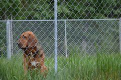 Kresy Tropi Alaska Bloodhound Zdjęcie Royalty Free