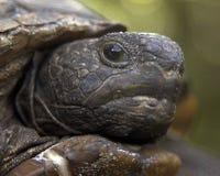 kret żółwia Fotografia Stock