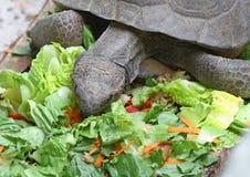 kret żółwia Obraz Stock