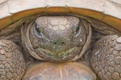 - kret zagrażającego żółwia, Obrazy Stock